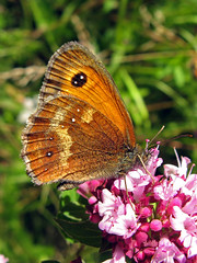 "Gatekeeper butterfly on Marjoram, Trap Grounds (Alan Allport) • <a style=""font-size:0.8em;"" href=""http://www.flickr.com/photos/60890513@N06/6884447416/"" target=""_blank"">View on Flickr</a>"