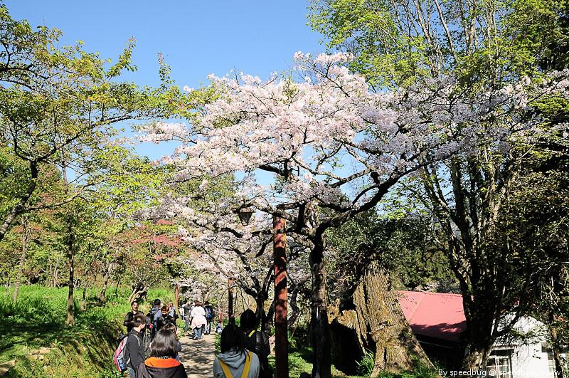阿里山櫻花季93