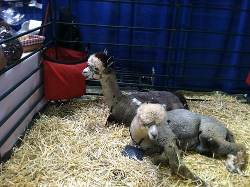 Posing alpaca