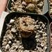 Conophytum ficiforme X minium 'Witteburgense'