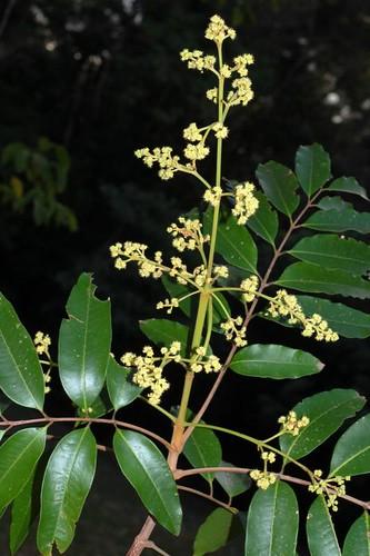Blepharocarya involucrigera