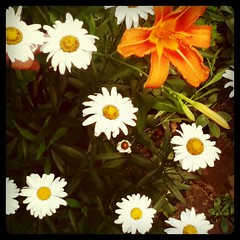 Daisies and lily
