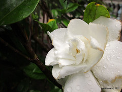 Gardenia/Rosal
