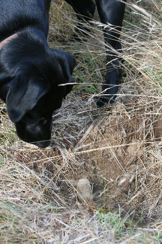 Bear?-dug hole and Raven