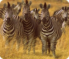 Zebra_Group