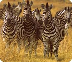 Zebra_Group