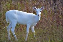 Nature - Animal - Wildlife - White White-taile...
