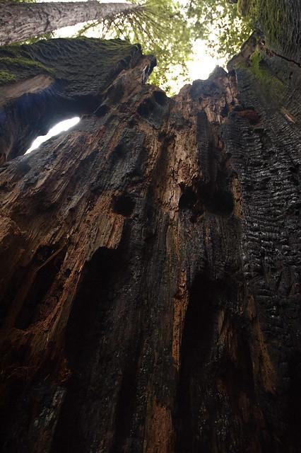 Big Basin Inside a Burnt Redwood Tree