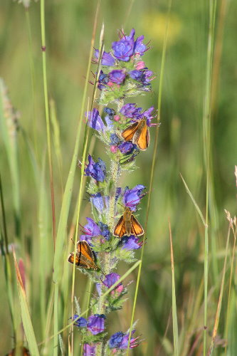 European Skippers on Viper's Bugloss