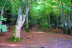 Hayedo en el bosque de Irati