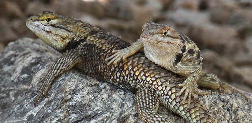Lounging Lazy Lizards by SearchNetMedia