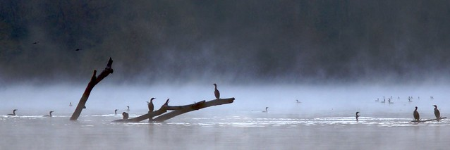 Lake Cormorants
