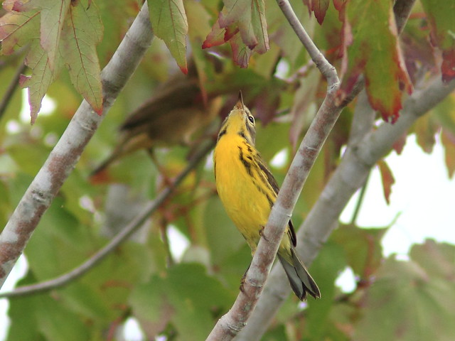 Prairie Warbler joins yellowthroat 20111005
