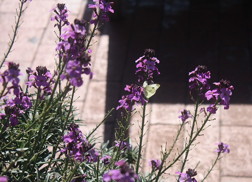 butterflycambria