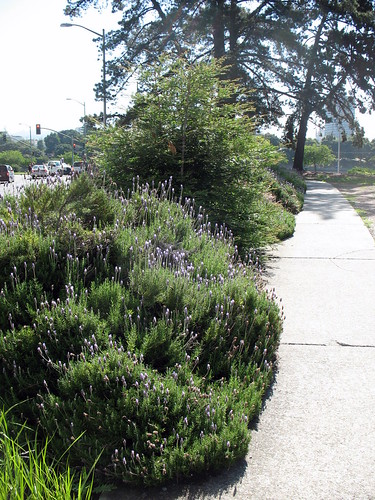Large lavender bushes by a sidewalk