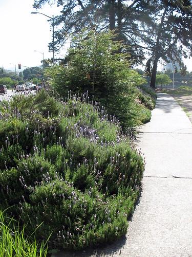 Large lavender bushes by a sidewalk