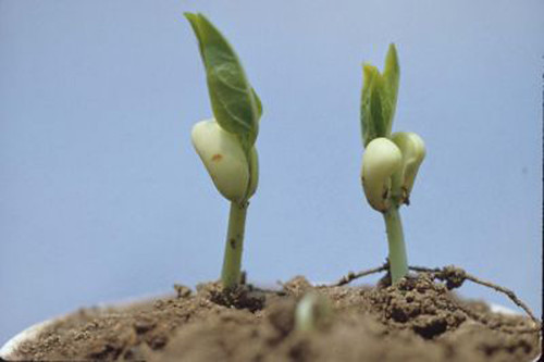 Epigeal germination of cowpea