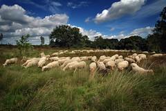 kudde schapen vliegbasis Soesterberg