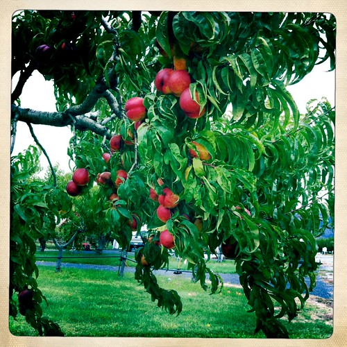 Nectarines at Tiny's Organic