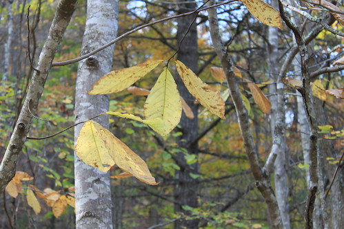 Falls Ridge - October 2011 - Pawpaw Leaves and Trunks