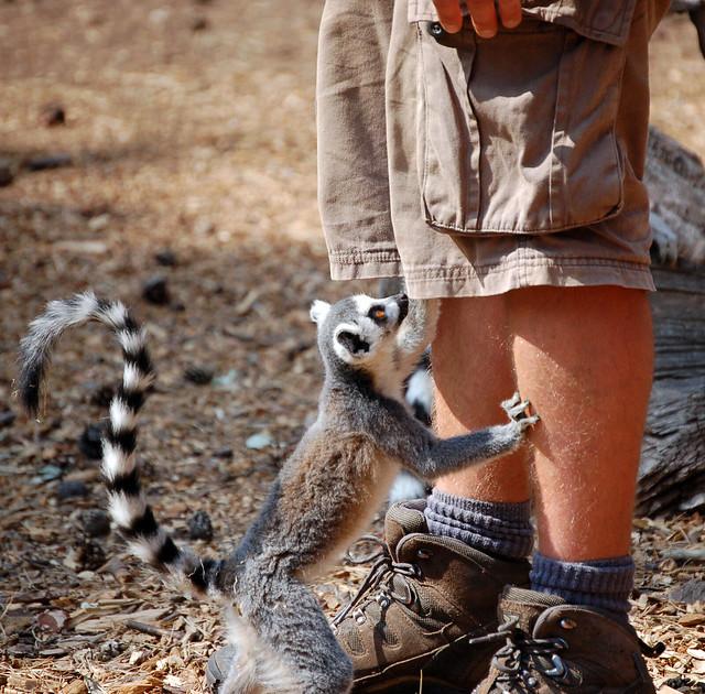 Lemur pick pocket