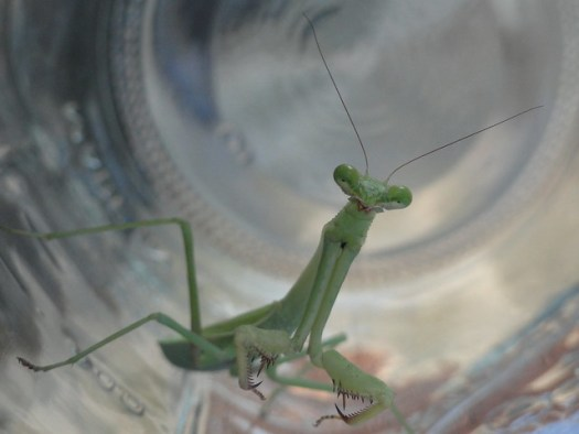 Praying Mantis in Mason Jar