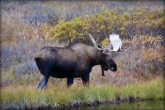 Moose -animal - Wildlife - Alaska