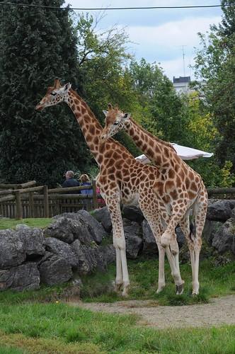 Westafrikanische Giraffen Djunbel und Umis im Zoo de Maubeuge
