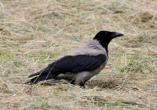 Hooded Crow (Corvus corone cornix) by Mike at Sea