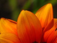 Como el pétalo de una flor