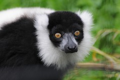 Schwarzweißer Vari im Zoo de Naubeuge