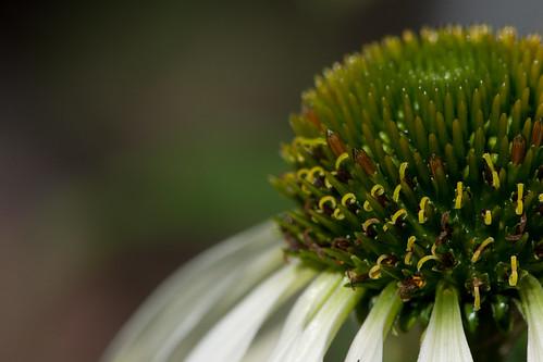 White Echinacea