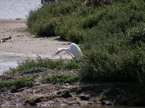 Scratching egret