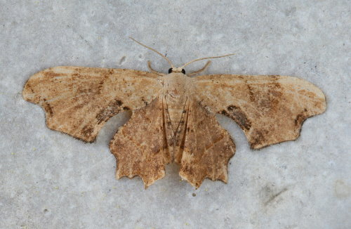 37-7653 - Calledapteryx dryopterata - Brown Scoopwing