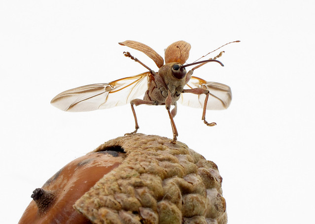 Acorn weevil taking off (Curculio sp.)