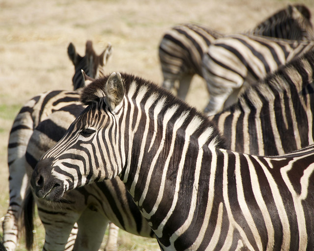 Werribee Zebra 02