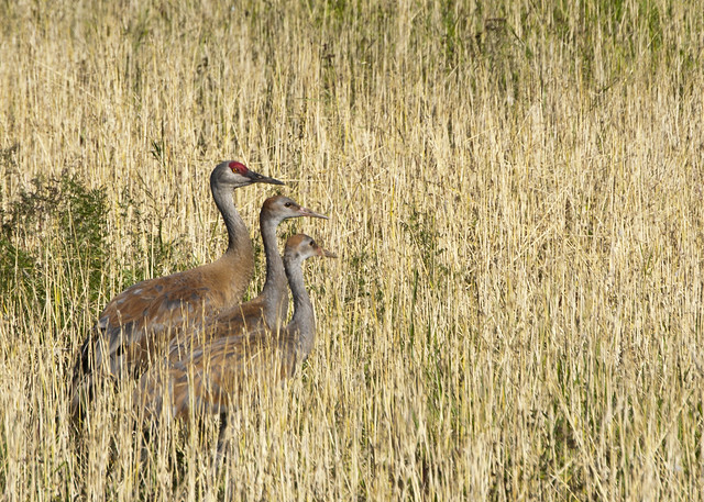 Crane with youngsters