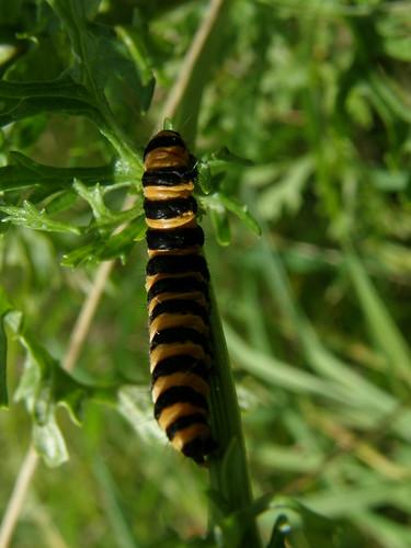 Cinnabar caterpillar
