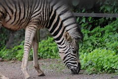 Chapman Zebra im Zoo de Maubeuge