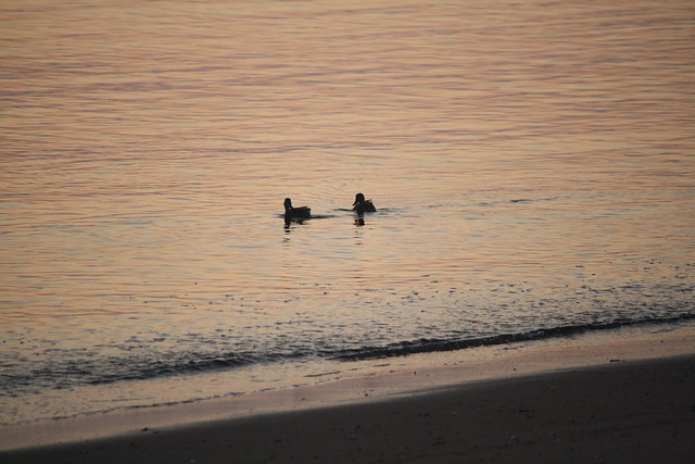 sunrise ducks
