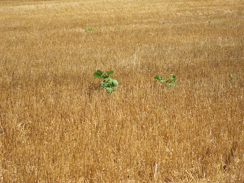 Weeds in cut wheat field