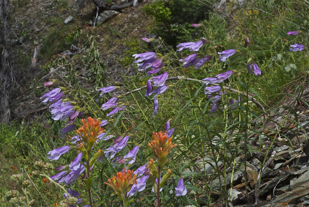 Shrubby Penstemon and Indian Paintbrush