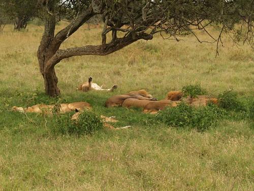 Pride of lions sleeping under a tree