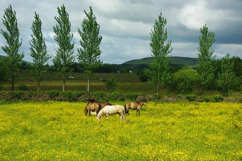 200110619-01_Welsh Ponies + Flower Meadow-Nr  Four Crosses-Bwlchgwyn by gary.hadden
