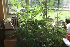 Tomaten planten binnen 28-08