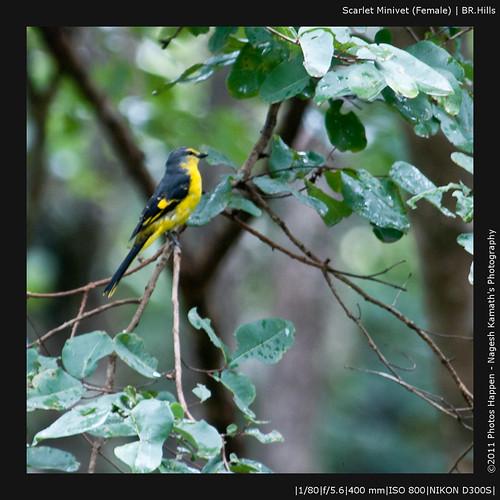 Scarlet Minivet (Female) | BR.Hills