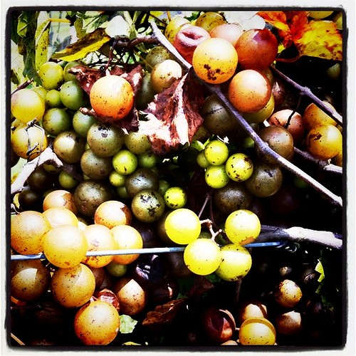 Muscadine Grapes Ripening on Vine at Henscratch Farms, Lake Placid, Fla.