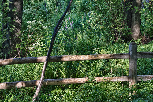 fence+branch+loosestrife