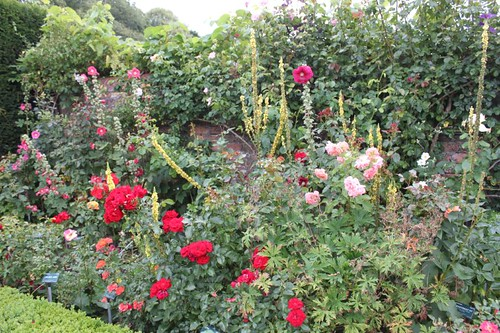 20110805_IMG_1500_rose-border