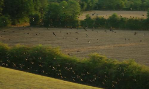 20110819-10_Flock-Murder-Storytelling-Muster-Parcel or Horde of Crows by gary.hadden